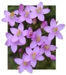 Fleurs de Bach 3